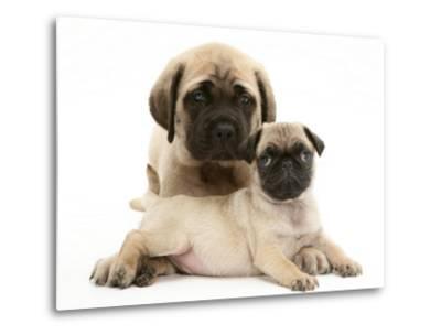 Fawn Pug Puppy with Fawn English Mastiff Puppy-Jane Burton-Metal Print