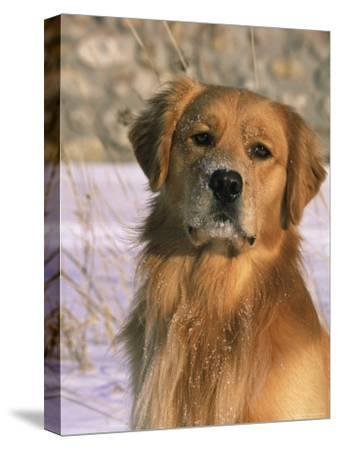 Golden Retriever in Snow (Canis Familiaris) Illinois, USA-Lynn M^ Stone-Stretched Canvas Print