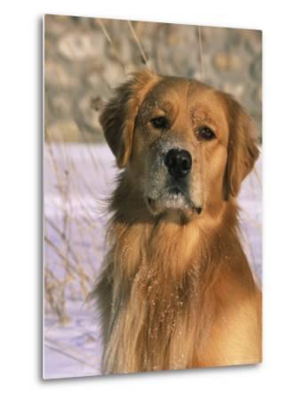 Golden Retriever in Snow (Canis Familiaris) Illinois, USA-Lynn M^ Stone-Metal Print