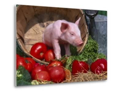 Domestic Piglet, in Bucket with Apples, Mixed Breed, USA-Lynn M^ Stone-Metal Print