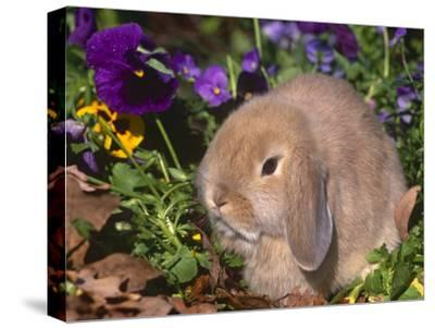 Baby Holland Lop Eared Rabbit, USA-Lynn M^ Stone-Stretched Canvas Print