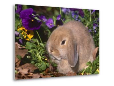 Baby Holland Lop Eared Rabbit, USA-Lynn M^ Stone-Metal Print