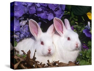 Two Albino New Zealand Domestic Rabbits, USA-Lynn M^ Stone-Stretched Canvas Print