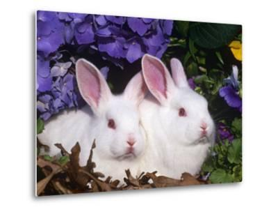 Two Albino New Zealand Domestic Rabbits, USA-Lynn M^ Stone-Metal Print