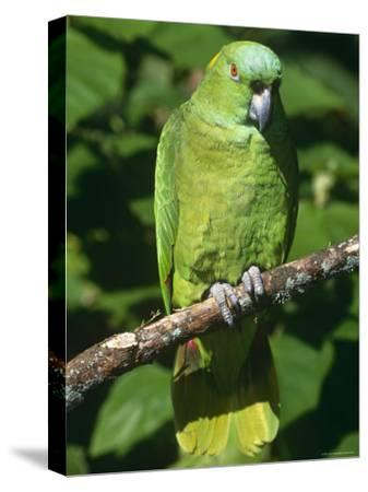 Mealy Amazon Parrot-Lynn M^ Stone-Stretched Canvas Print