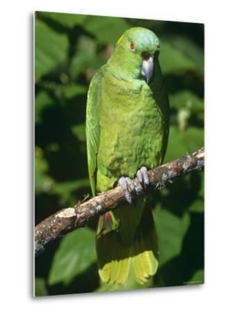 Mealy Amazon Parrot-Lynn M^ Stone-Metal Print