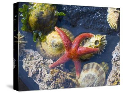 Blood Star, with Limpets and Barnacles Exposed at Low Tide, Tongue Point, Washington, USA-Georgette Douwma-Stretched Canvas Print