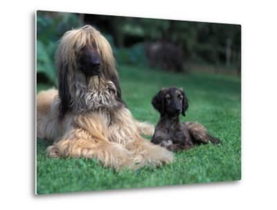 Domestic Dogs, Afghan Hound Lying on Grass with Puppy-Adriano Bacchella-Metal Print