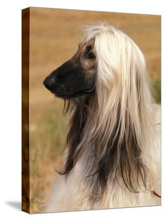 Afghan Hound Profile-Adriano Bacchella-Stretched Canvas Print