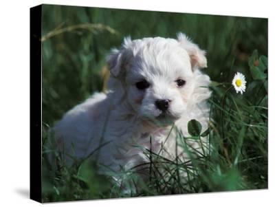 Maltese Puppy Sitting in Grass Near a Daisy-Adriano Bacchella-Stretched Canvas Print
