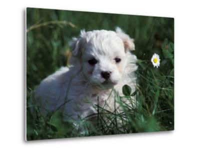 Maltese Puppy Sitting in Grass Near a Daisy-Adriano Bacchella-Metal Print