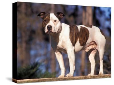 Staffordshire Bull Terrier Portrait-Adriano Bacchella-Stretched Canvas Print