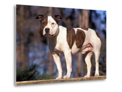 Staffordshire Bull Terrier Portrait-Adriano Bacchella-Metal Print