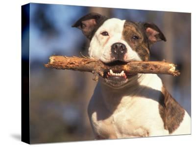 Staffordshire Bull Terrier Carrying Stick in Its Mouth-Adriano Bacchella-Stretched Canvas Print