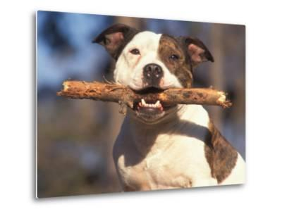 Staffordshire Bull Terrier Carrying Stick in Its Mouth-Adriano Bacchella-Metal Print