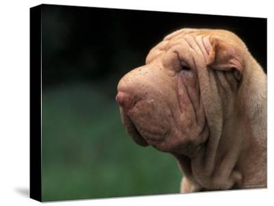 Shar Pei Face-Adriano Bacchella-Stretched Canvas Print