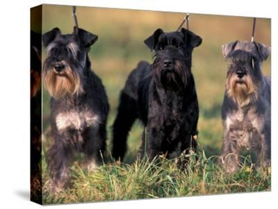 Domestic Dogs, Three Miniature Schnauzers on Leads-Adriano Bacchella-Stretched Canvas Print