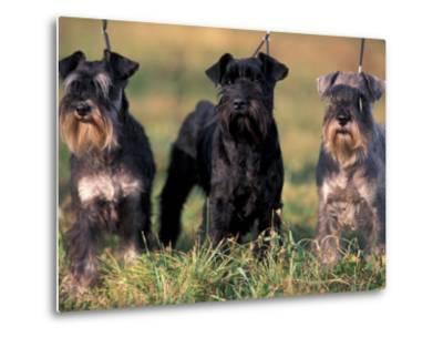 Domestic Dogs, Three Miniature Schnauzers on Leads-Adriano Bacchella-Metal Print
