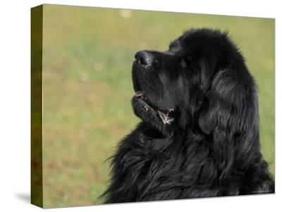 Black Newfoundland Looking Up-Adriano Bacchella-Stretched Canvas Print
