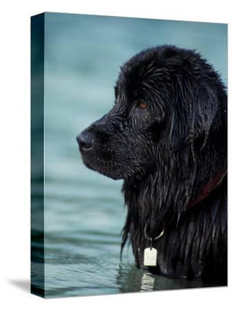 Black Newfoundland Standing in Water-Adriano Bacchella-Stretched Canvas Print