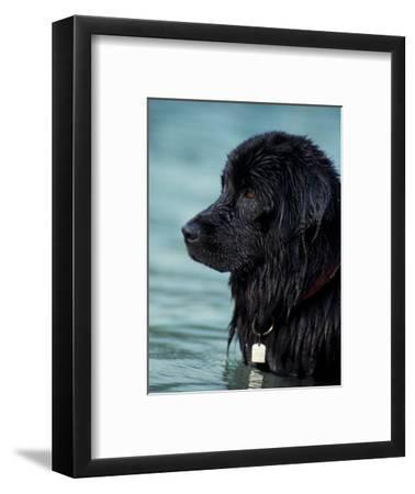 Black Newfoundland Standing in Water-Adriano Bacchella-Framed Premium Photographic Print