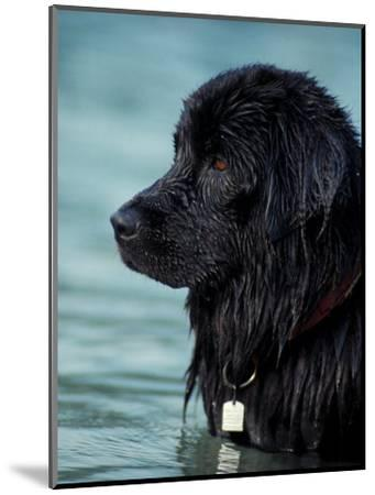 Black Newfoundland Standing in Water-Adriano Bacchella-Mounted Premium Photographic Print