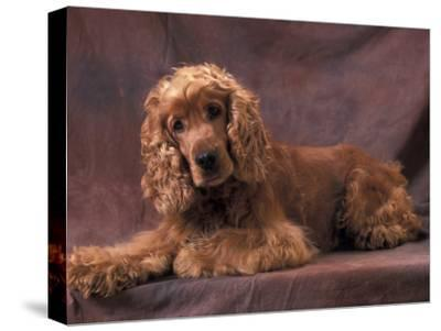 English Cocker Spaniel Lying Down with Head Tilted to One Side-Adriano Bacchella-Stretched Canvas Print