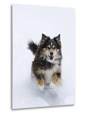 Female Red Tricolor Australian Shepherd Dog Running in Snow, Longmont, Colorado, USA-Carol Walker-Metal Print