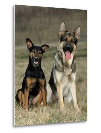 German Shepherd and Mixed Breed Dogs-Petra Wegner-Metal Print