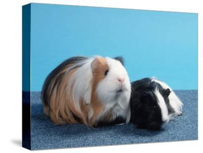 Sheltie Guinea Pig with Young-Petra Wegner-Stretched Canvas Print