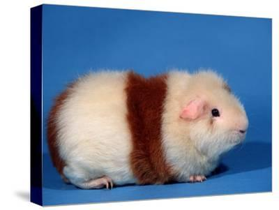 Red and White Rex Guinea Pig-Petra Wegner-Stretched Canvas Print
