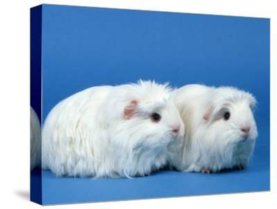 Two White Coronet Guinea Pigs-Petra Wegner-Stretched Canvas Print