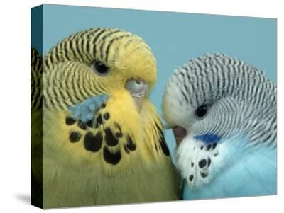 Budgerigar Pair Courting-Petra Wegner-Stretched Canvas Print