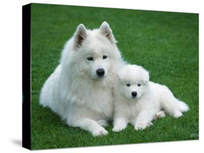 Samoyed with 6 Weeks Old Puppy-Petra Wegner-Stretched Canvas Print