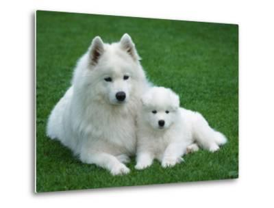 Samoyed with 6 Weeks Old Puppy-Petra Wegner-Metal Print