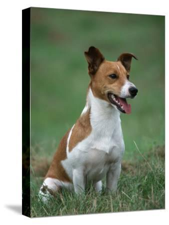 Jack Russell Terrier-Petra Wegner-Stretched Canvas Print
