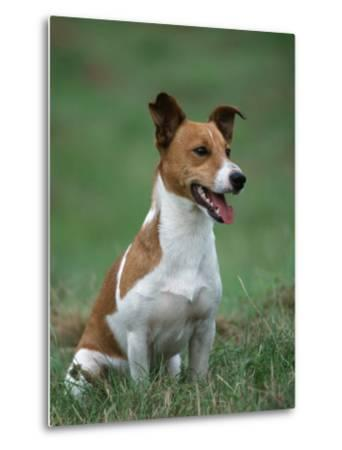 Jack Russell Terrier-Petra Wegner-Metal Print