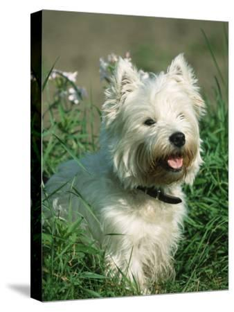 Head Portrait of West Highland White Terrier Dog-Petra Wegner-Stretched Canvas Print