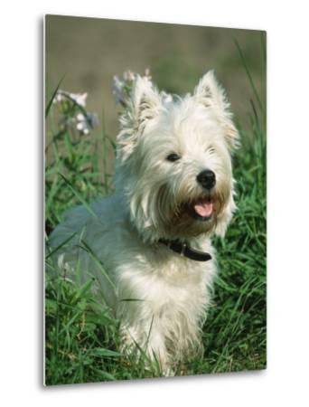 Head Portrait of West Highland White Terrier Dog-Petra Wegner-Metal Print