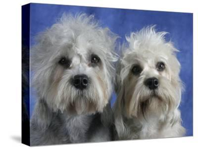 Two Dandie Dinmont Terrier Dogs-Petra Wegner-Stretched Canvas Print