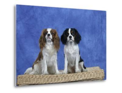 Dogs, Two Cavalier King Charles Spaniels on Basket-Petra Wegner-Metal Print