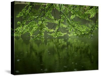 Beech Leaves Over Lake, Waggoners Wells, Grayshot, Surrey, England, United Kingdom-Pearl Bucknall-Stretched Canvas Print