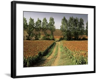 Millet Field Near Condom, Gascony, Midi-Pyrenees, France-Michael Busselle-Framed Photographic Print