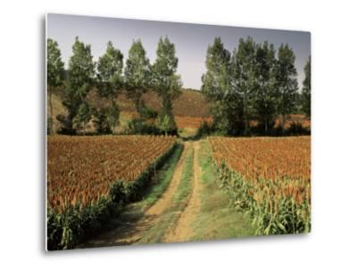 Millet Field Near Condom, Gascony, Midi-Pyrenees, France-Michael Busselle-Metal Print