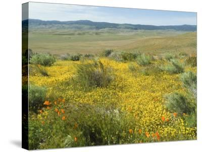 Antelope Valley Poppy Reserve, California, USA-Ethel Davies-Stretched Canvas Print