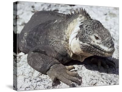Land Iguana, Plaza Island, Galapagos Islands, Ecuador, South America-Walter Rawlings-Stretched Canvas Print