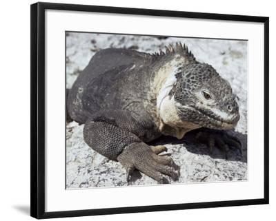 Land Iguana, Plaza Island, Galapagos Islands, Ecuador, South America-Walter Rawlings-Framed Photographic Print
