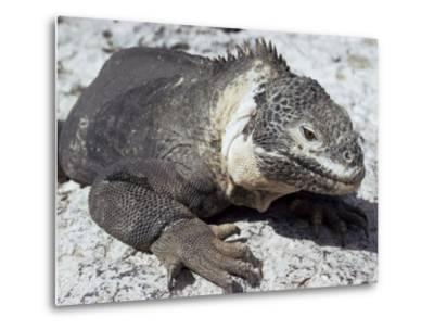 Land Iguana, Plaza Island, Galapagos Islands, Ecuador, South America-Walter Rawlings-Metal Print