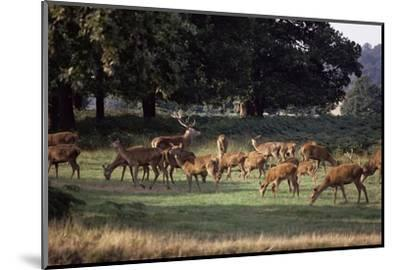 Deer, Richmond Park, Surrey, England, United Kingdom-Walter Rawlings-Mounted Photographic Print