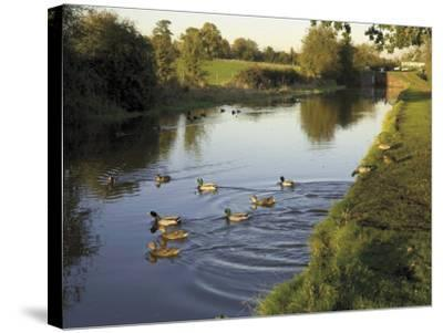 Ducks Swimming in the Worcester and Birmingham Canal, Astwood Locks, Hanbury, Midlands-David Hughes-Stretched Canvas Print